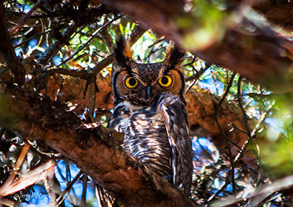 I See You Great Horned Owl by Terry Aldhizer
