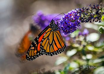 Monarch With Monarch Bokeh By Terry Aldhizer