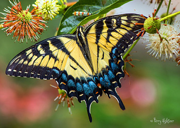 Summer Swallowtail Butterfly By Terry Aldhizer