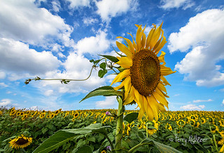 Sunflower Glory By Terry Aldhizer