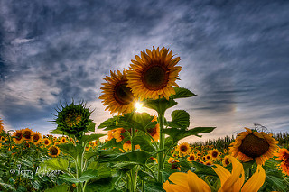 Sunflowers Sunburst By Terry Aldhizer