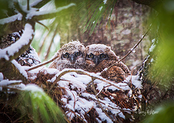 Baby Great Horned Owls by Terry Aldhizer